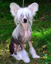 Ķīnas Cekulainais Sunītis  Pēc... Autors: Done Patīk suņi?