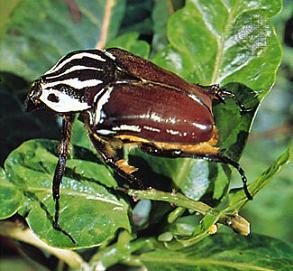 Lielākais insekts  Goliāt... Autors: kanba Pasaulē lielākie dzīvnieki.