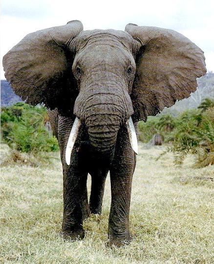 Lielākais sauszemes dzīvnieks ... Autors: kanba Pasaulē lielākie dzīvnieki.