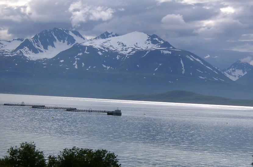 Ko Norvēģijā audzē šajās... Autors: aivarsm Manas atmiņas par Skandināviju