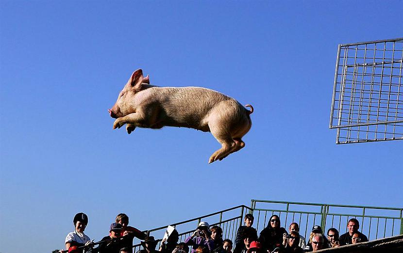 Melnburna Austrālija Cūkiņs... Autors: KingOfTheSpokiLand 75 Pārsteidzošas dzīvnieku fotogrāfijas!