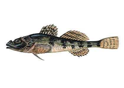 Jūrasbullītis Taurulus bubalis... Autors: Sperovs Latvijas zivis