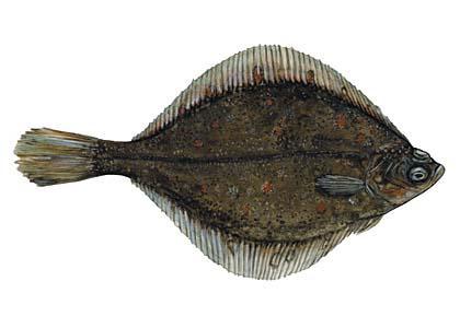Jūras Zeltplekste Pleuronectes... Autors: Sperovs Latvijas zivis