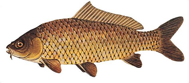 Karpa Cyprinus carpio... Autors: Sperovs Latvijas zivis