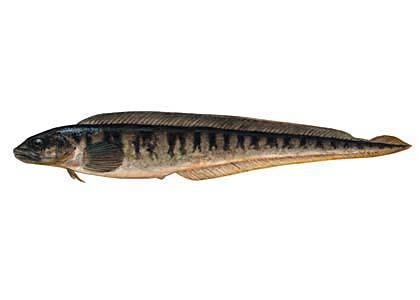 Lucītis Zoarces viviparus... Autors: Sperovs Latvijas zivis