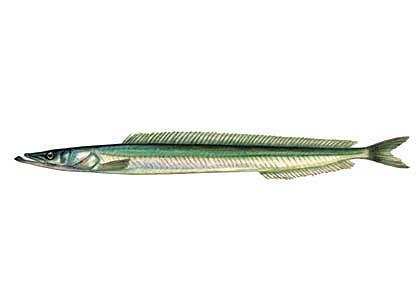Nigliņš Hyperoplus lanceolatus... Autors: Sperovs Latvijas zivis