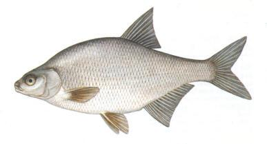 Plaudis Breksis Abramis brama... Autors: Sperovs Latvijas zivis