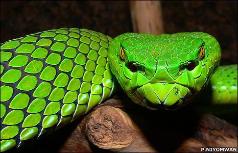 Visas čūskas ir nedzirdīgas... Autors: Justas [Čūskas un Fakti]