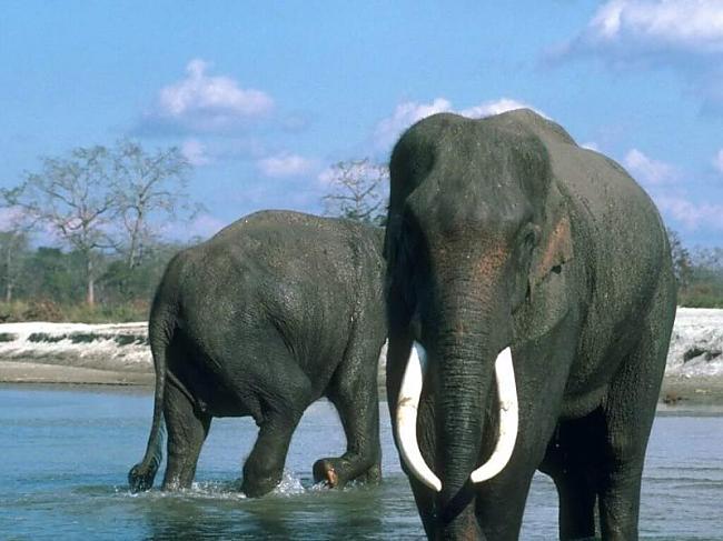 Ziloņi neprot lēkāt Autors: kikijaaa2 Fakti par dzīvniekiem.