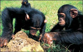 Top1 Shimpanze  Topa augshgala... Autors: relix11 Top 10 Gudrakie dzivnieki