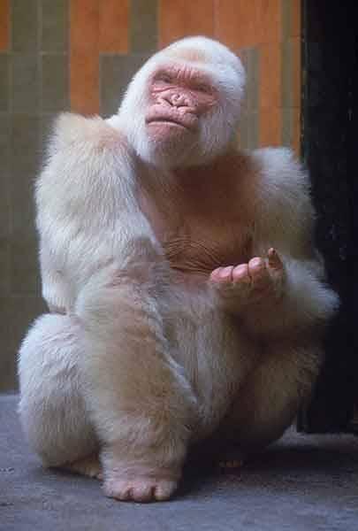 Albīna gorilla Par... Autors: Skello Pasaules dīvainākie dzīvnieki.