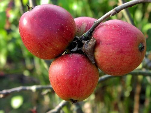Āboli ir efektīgāks līdzeklis... Autors: Katchibaba Zināji?
