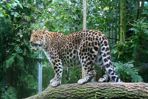 Amūras leopards Savvaļā... Autors: Optimists NaCl 5 pasaules retākie un apdraudētākie kaķi ...