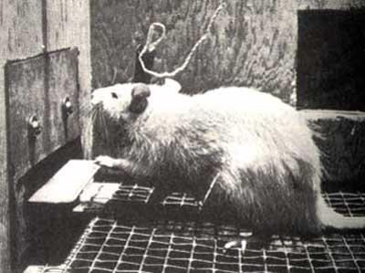 1954 gadā Makgila... Autors: exe Dīvainākie eksperimenti pasaules vēsturē.
