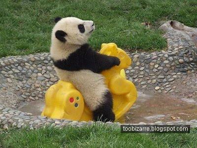 Kā jau visiem maziem pandēdiem... Autors: vilx2 Pandas dzīvestāsts