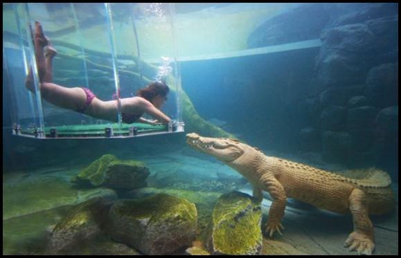 Lai nodrošinātu ka... Autors: MONTANNA Kā peldēt kopā ar krokodiliem
