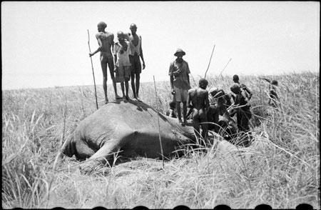 Attēlotās medības visticamāk... Autors: Tavs Sencis Fakti par ziloņiem