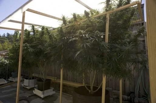 19 gs otrajā pusē un 20 gs... Autors: Tavs Sencis Medicīniskās marihuānas ražotne Kalifornijā
