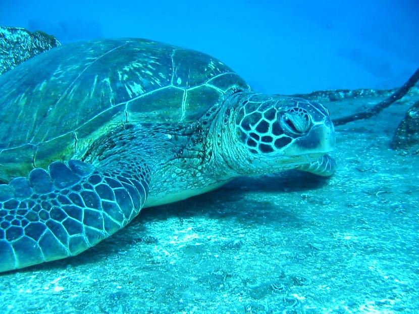 Adānais bruņurupucis ir... Autors: 6luks Bruņurupuči