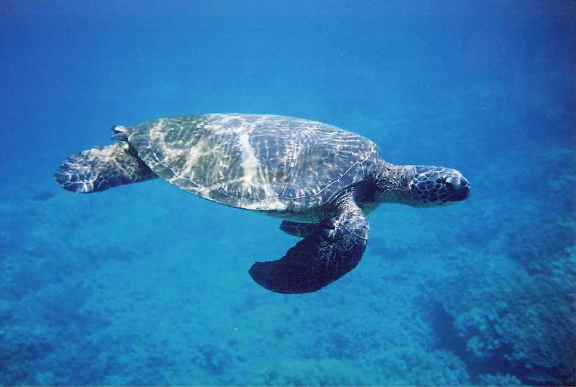 Salīdzinajumā ar sauszemes... Autors: 6luks Bruņurupuči