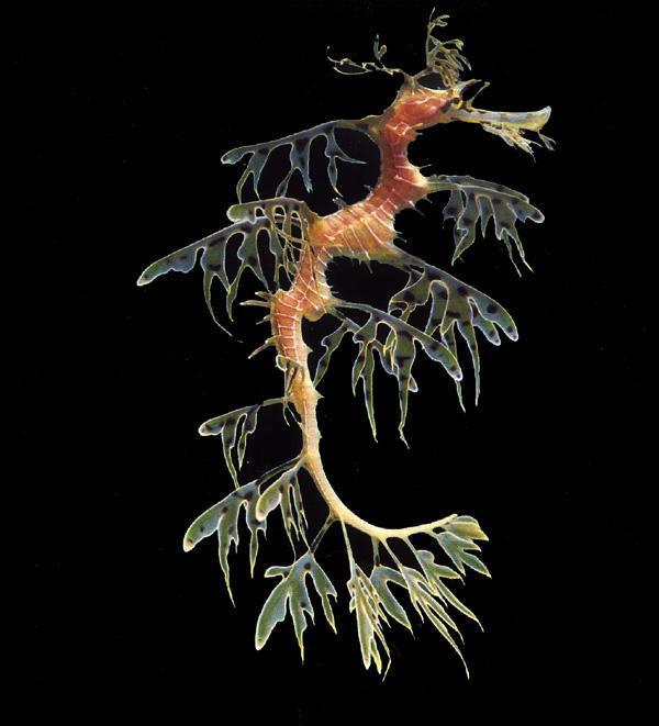 1 Lapotais jūras pūķis Leafy... Autors: VinijsPūks 25 pasaules jocīgākie dzīvnieki