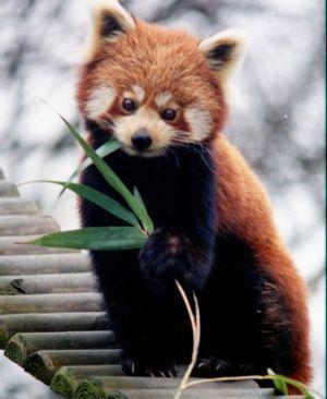 5 Sarkanā panda Red Panda jeb... Autors: VinijsPūks 25 pasaules jocīgākie dzīvnieki