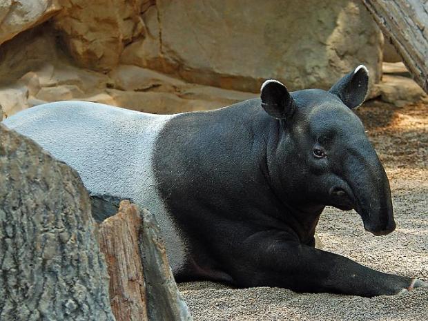 9 Tapīrs Tapir jeb Tapirus Autors: VinijsPūks 25 pasaules jocīgākie dzīvnieki