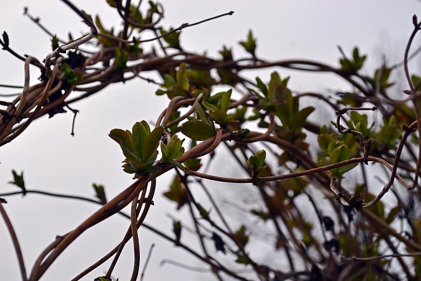 Pamazām plaukst lapas vēsais... Autors: Liennucyc Pavasaris
