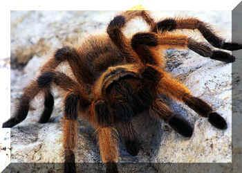 Tarantuļi var izdzīvot bez... Autors: Fosilija Vai zināji ka