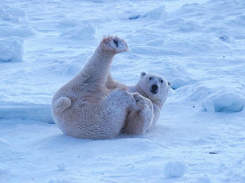 Visi polārlāči ir kreiļi Autors: kaķūns bezjēdzīgi fakti 4.