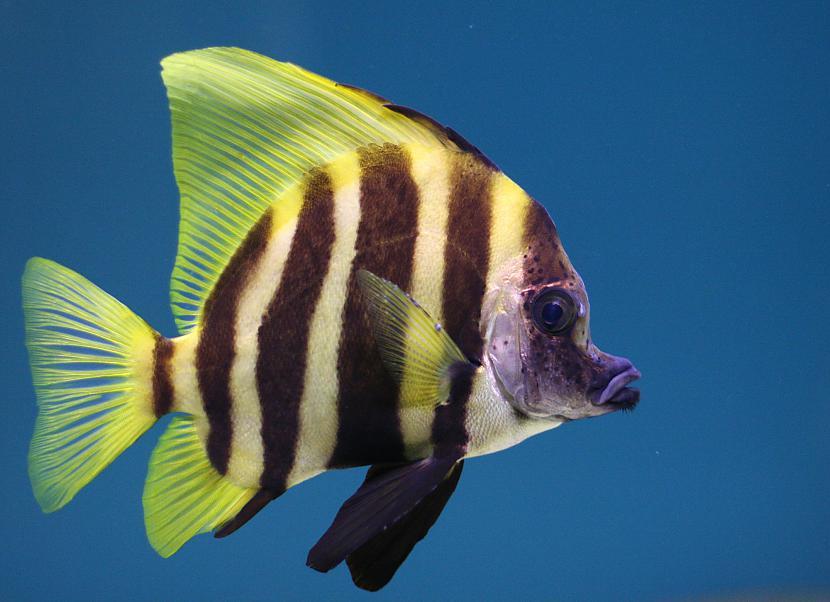 Zivis ir aukstasiņu... Autors: Fosilija 10 fakti par zivīm.