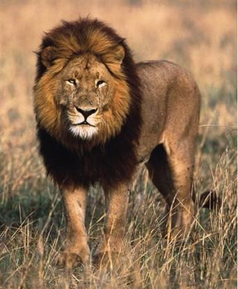 Ja gribi ietaupīt pērkot... Autors: Fragma1 Ko dāvināt lauvām?