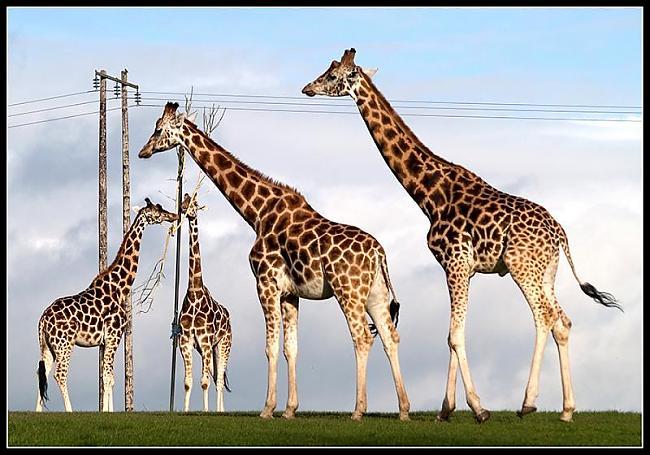 Žirafēm nav balss saišu Autors: Ļaunā minka Nedzirdēti fakti.