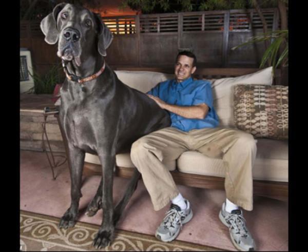 Četrus gadus vecais vācu dogs... Autors: lapsiņa112 Pasaules Milzeņi..