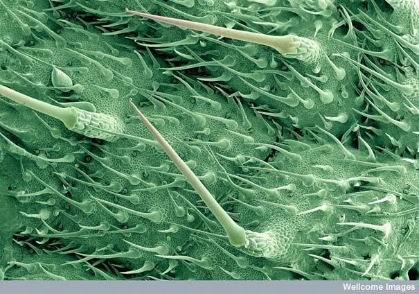 Nātres lapas virsma Autors: MILFS Aplūkojot pasauli ar mikroskopu