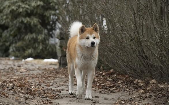 Hatiko bija dzimis 10 novebrī... Autors: CrazyMaineCoonLover Hachiko: The World's Most Loyal Dog