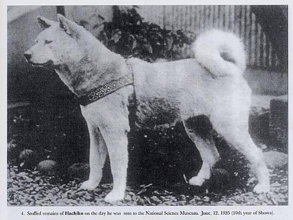 Katru dienu kad profesors... Autors: CrazyMaineCoonLover Hachiko: The World's Most Loyal Dog