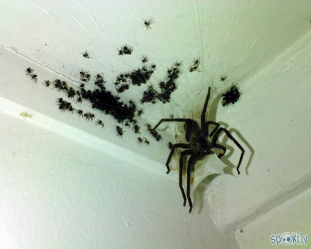zirnekļiem ir lielas ģimenes Autors: belo1995 zirnekļi