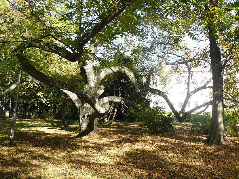 Šis ir valriekstu koks D bet... Autors: slyfer3 Ķemeri sen aizmirstais kūrorts.