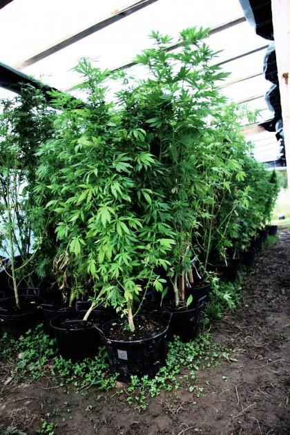 Autors: xx Salduū fermā izaudzē marihuānu 7,2 miljonu latu vērtīb
