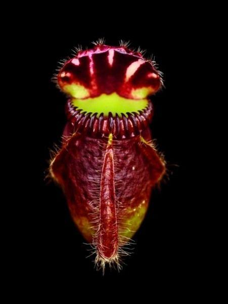 North american hybrid Ievilina... Autors: Asiņainā Mērija Augi killeri.