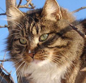 Kaķu oža ir 14 reižu smalkāka... Autors: SūduCentrs Kaķi vai citplanētieši?