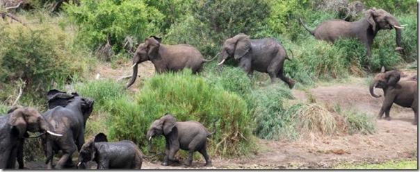 Šeit visi ziloņi pēc labi... Autors: SummerSound Bara instinkts dabā..