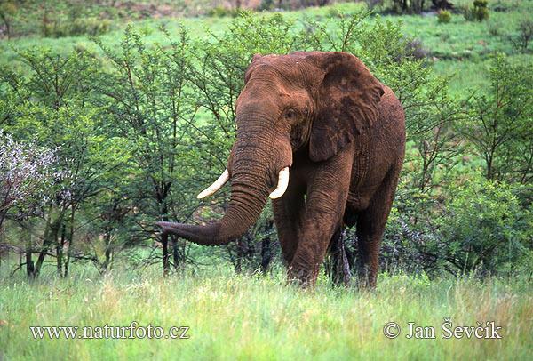 Varenie ziloņi apbrīnas vērti  Autors: SummerSound Bara instinkts dabā..