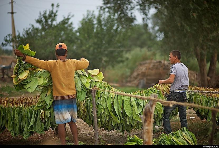 Visas virtenes tiek savērptas... Autors: Džordžs no Džungłiem Kā izaudzē tabaku ?