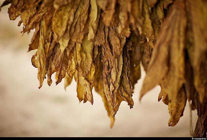 Pārgatavotas tabakas lapas arī... Autors: Džordžs no Džungłiem Kā izaudzē tabaku ?