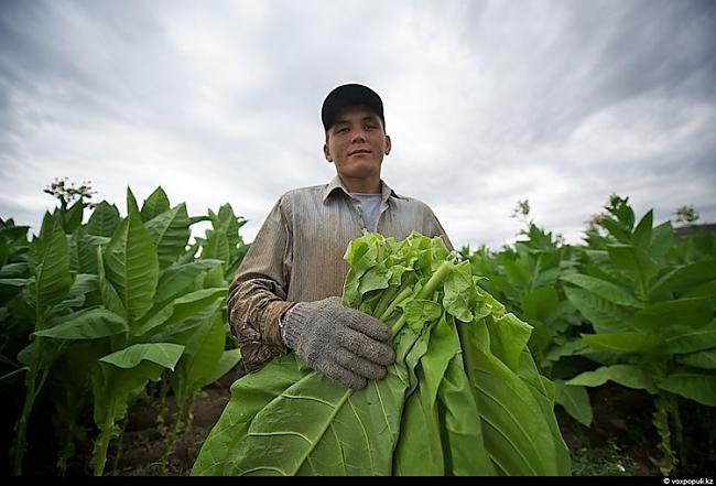 Titulbilde Autors: Džordžs no Džungłiem Kā izaudzē tabaku ?