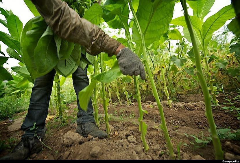 Lai izvairītos no tabakas... Autors: Džordžs no Džungłiem Kā izaudzē tabaku ?