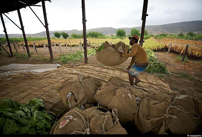Sākuma maisi tiek savākti pēc... Autors: Džordžs no Džungłiem Kā izaudzē tabaku ?