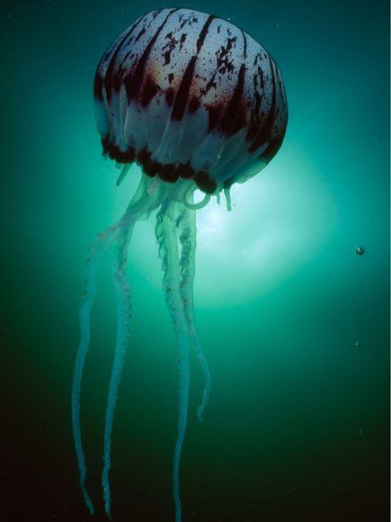 Autors: Twilight girl Jellyfish